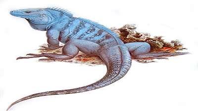 Bild: Echsen / Iguanidae / Leguane
