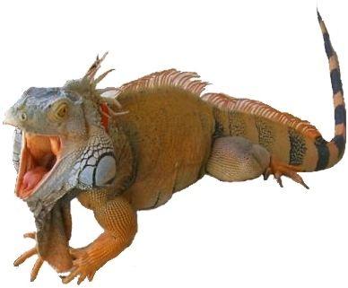 IGUANA: Infos zur Leguan Zähmung, dem Handling, der Paarung und Zucht Grüner Leguane